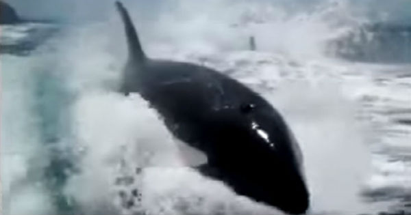 orca whales chase speed boat