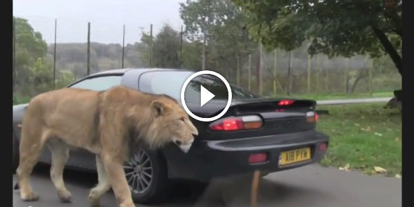 This Lion Car Attack Is Out Of This World Insane Scary Story