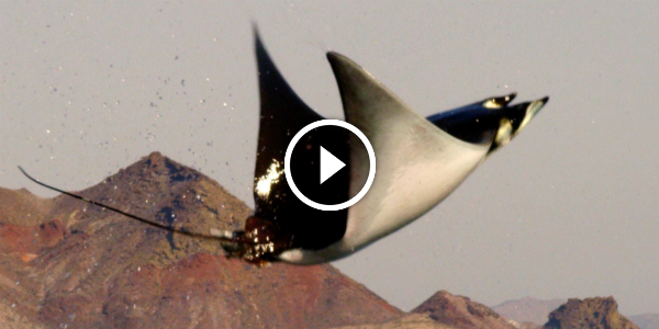 MOBULA RAYS FLYING SHARK Does Magnificent LEAPS Above The Water 12