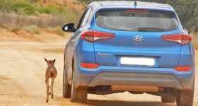 Wildebeest Calf thinks this Hyundai Tucson mother herd runs 1
