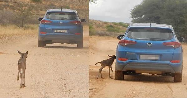 Wildebeest Calf thinks this Hyundai Tucson mother herd runs 2