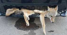Coyote Survives Getting Stuck in Car 1