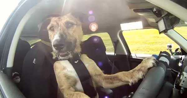 Dog Driving Training 1